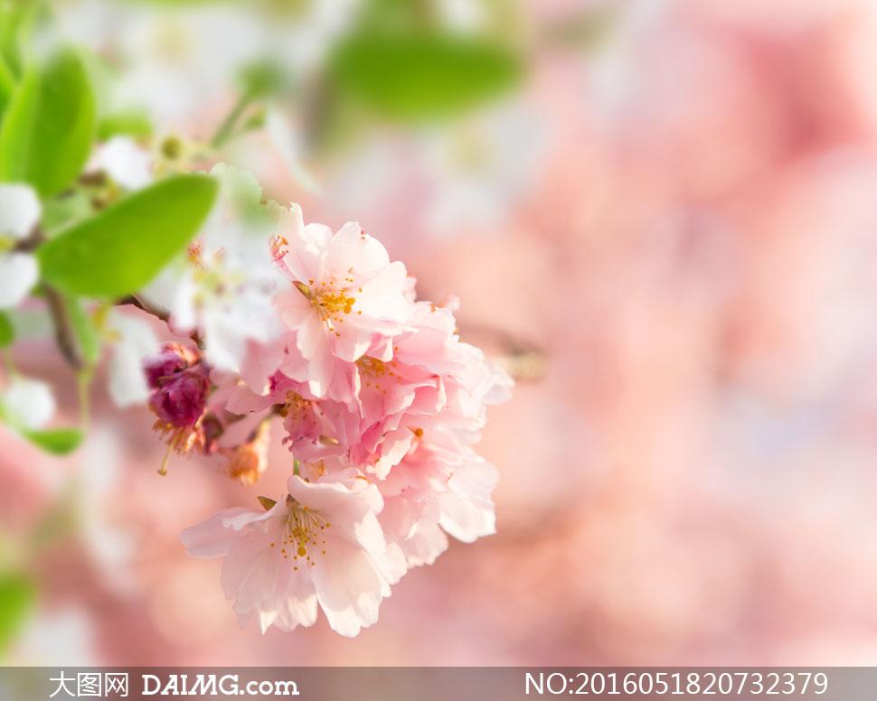 高清大图图片素材摄影近景特写微距鲜花花朵花卉植物朦胧模糊樱花春天