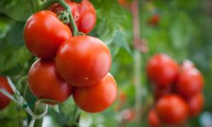 在藤蔓上成熟的西红柿特写高清图片