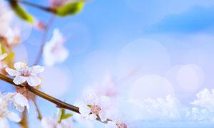 春天盛开着的樱花微距特写高清图片