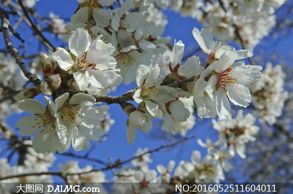 春天白色樱花近景特写摄影高清图片