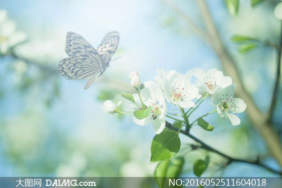 樱花与春天飞舞的蝴蝶摄影高清图片