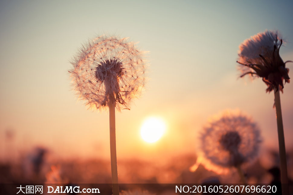 在阳光下的蒲公英逆光摄影高清图片