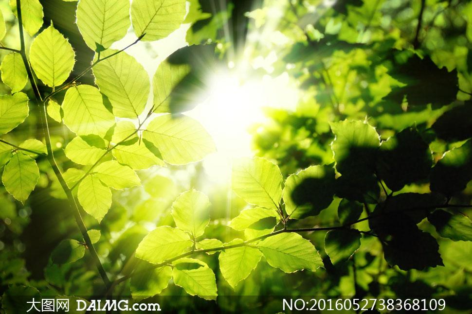 阳光照耀下的绿叶逆光摄影高清图片