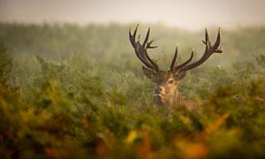 躲藏在灌木丛中的红鹿摄影高清图片