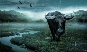 创意的水牛海报设计PS教程素材