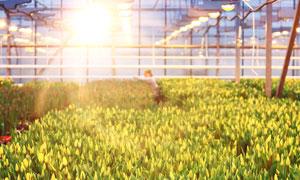 大棚灯光照射下的郁金香花高清图片