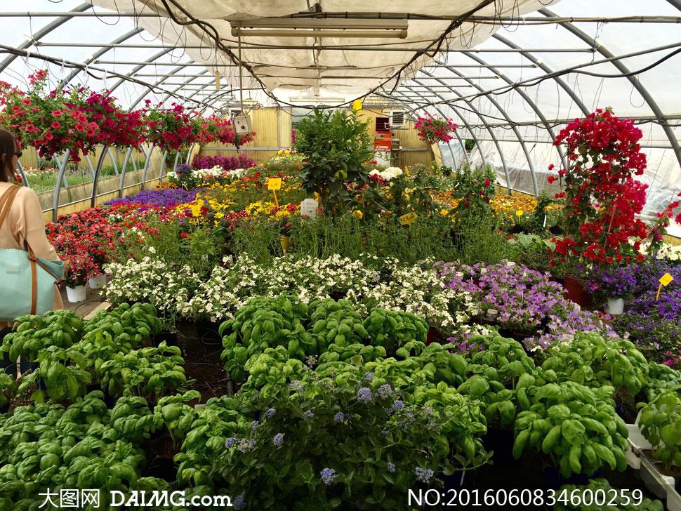 关 键 词: 高清大图图片素材摄影室内温室大棚内景种植盆栽鲜花花卉