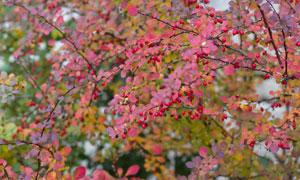 挂满了红色果实的树木摄影高清图片