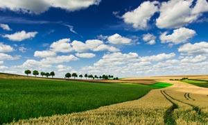 蓝天白云下的麦田农作物摄影图片