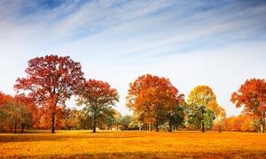 秋季蓝天下的枫林摄影图片