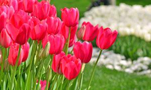 植物园里的鲜艳郁金香摄影高清图片