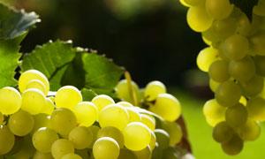 新鲜的葡萄串近景特写摄影高清图片