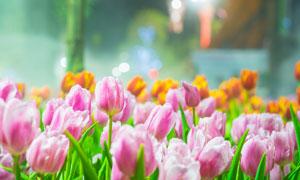 郁金香花植物微距特写摄影高清图片