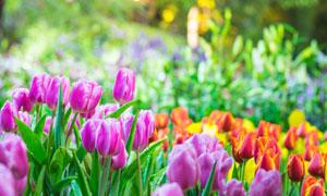 花园里的郁金香花微距摄影高清图片