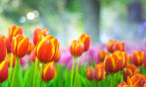 黄橙色的郁金香花微距摄影高清图片