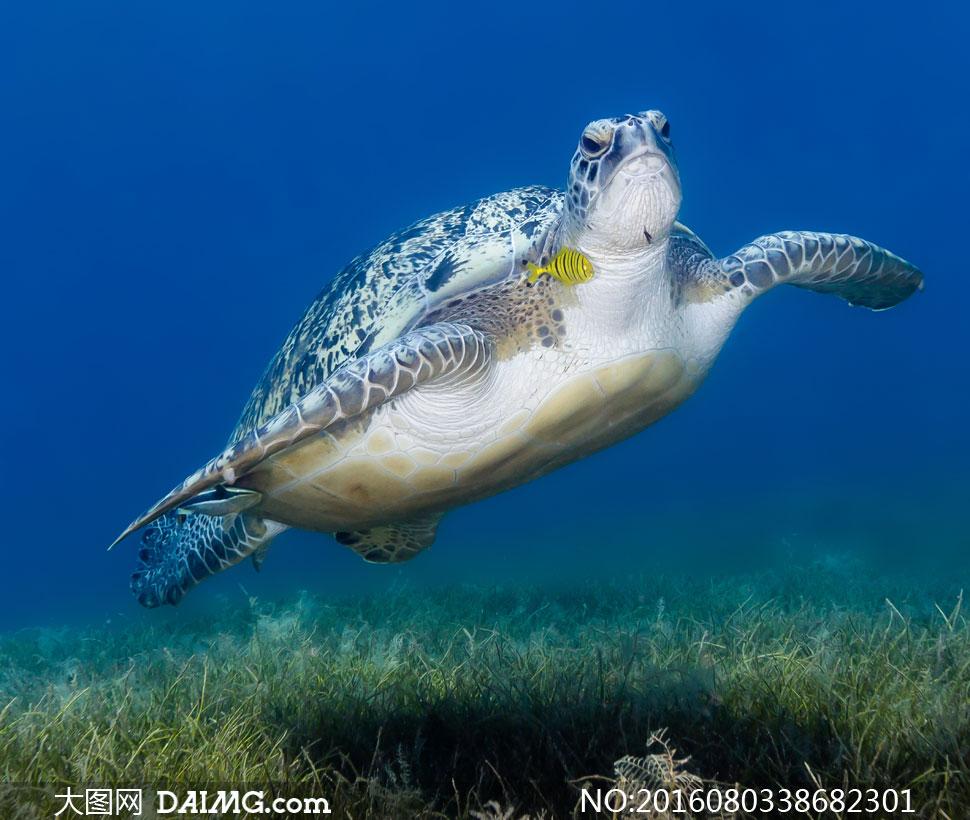 海水里游着的海龟特写摄影高清图片