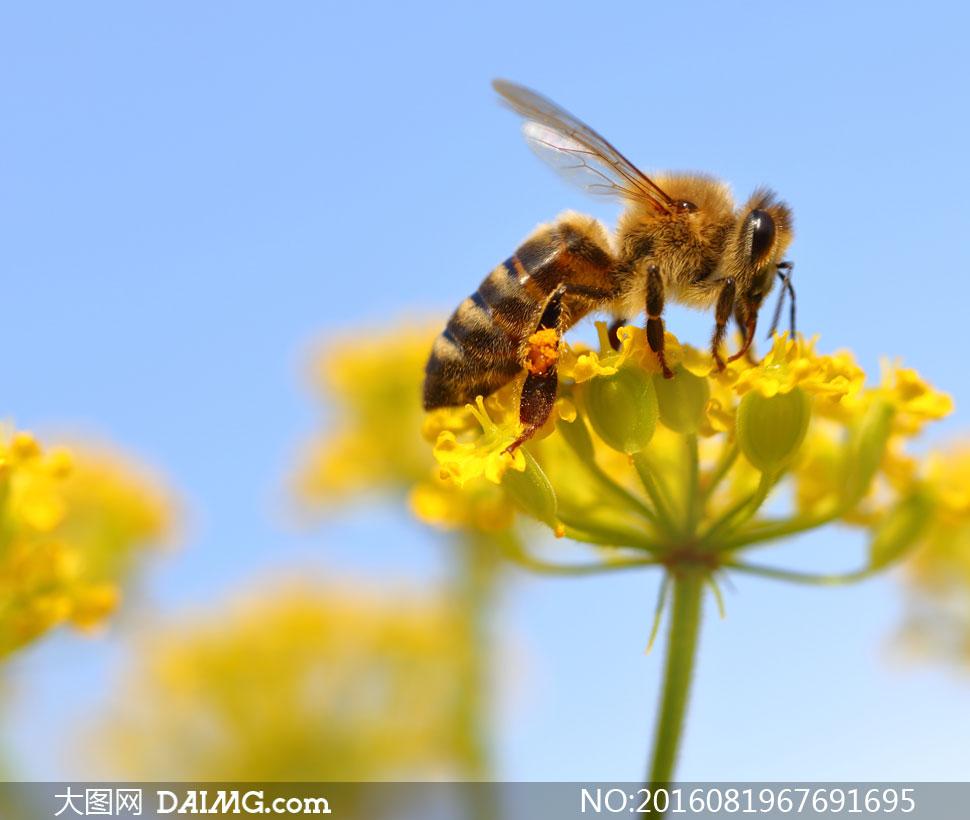 黄色鲜花上的蜜蜂微距摄影高清图片