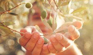 捧在双手里的橄榄特写摄影高清图片