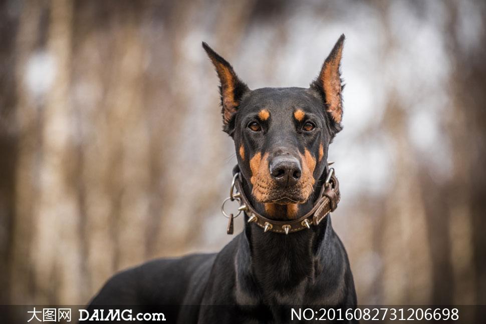 脖子上戴着项圈的杜宾摄影高清图片