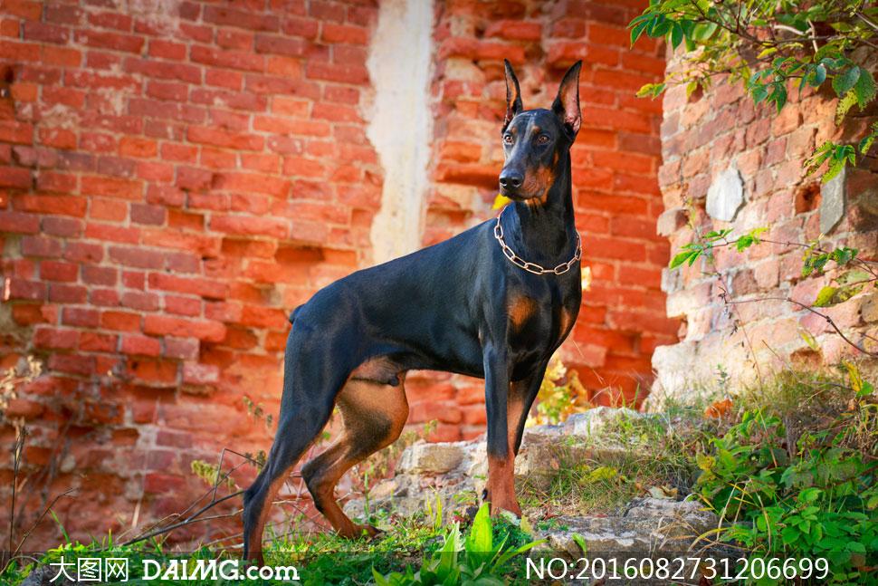 键 词: 高清摄影图片大图动物近景特写微距黑色狗狗k9砖墙墙壁杜宾犬