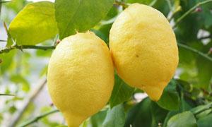 挂在树枝上的成熟柠檬摄影高清图片