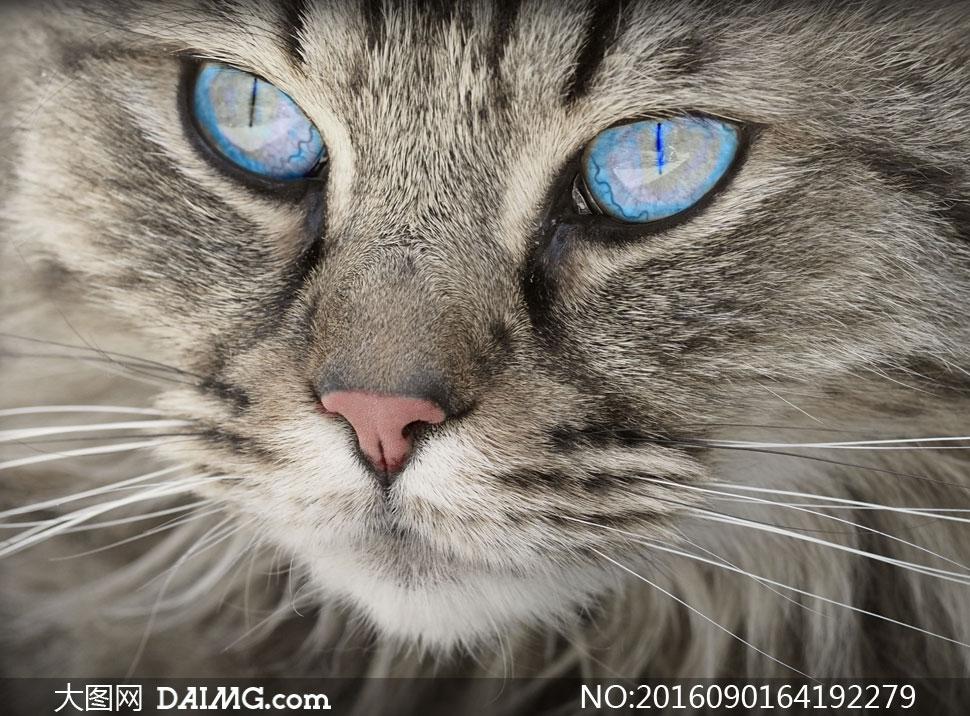 关 键 词: 高清摄影图片大图近景特写微距灰猫猫咪喵星人蓝眼睛 注意