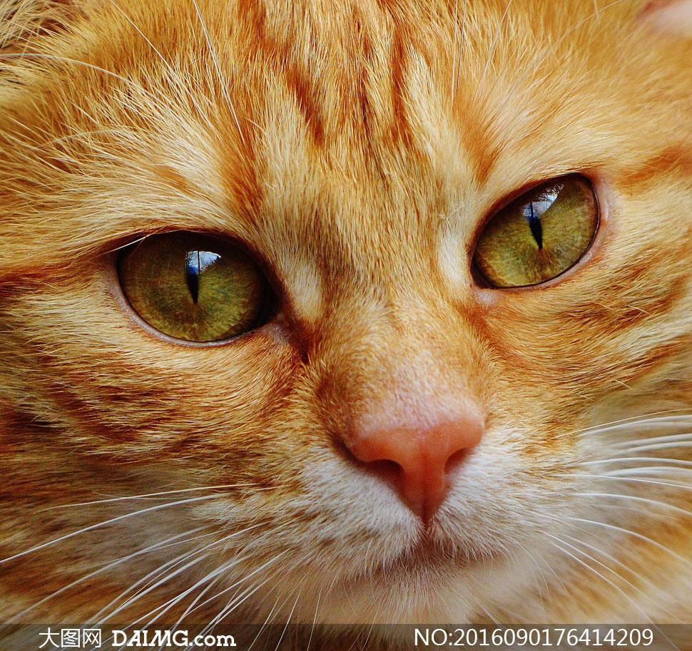大眼睛小猫咪近景特写摄影高清图片