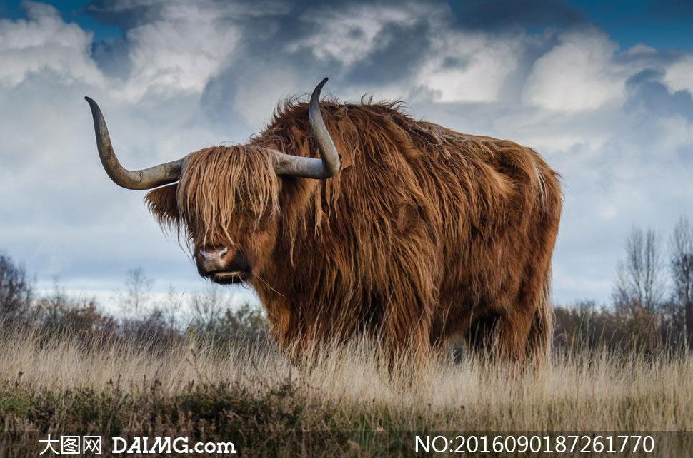 在草丛中的长毛牛动物摄影高清图片