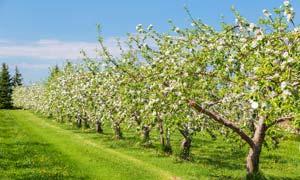 春季绿色果园果树摄影图片
