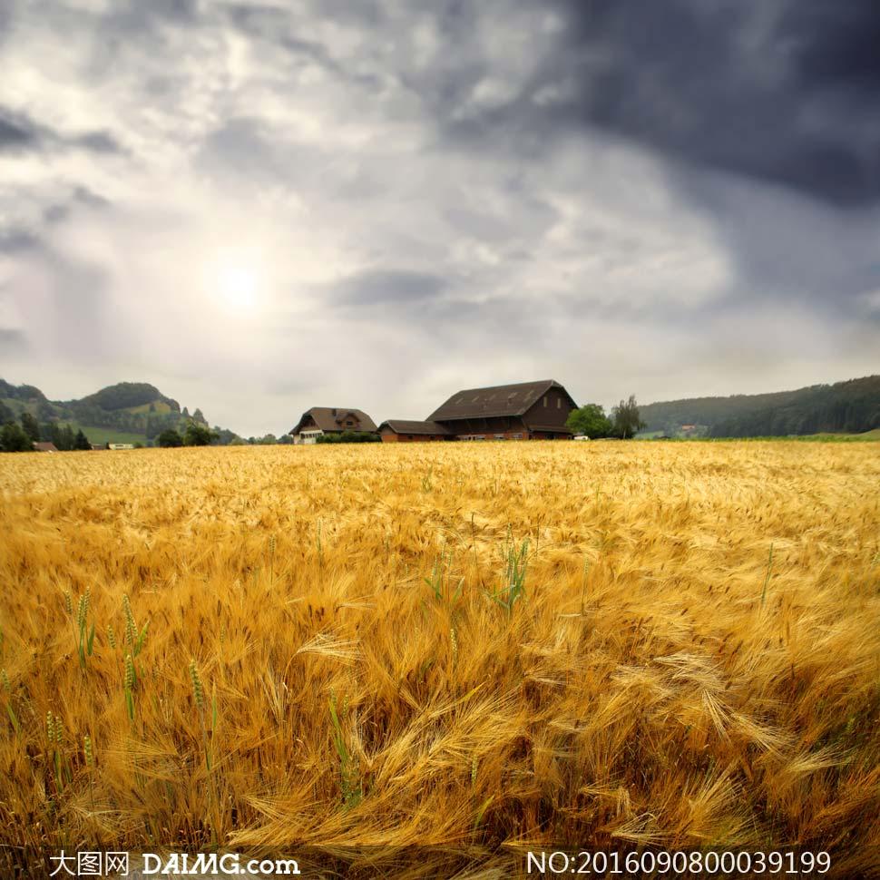 秋季丰收季稻田美景摄影图片