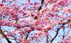 盛开的桃花美景摄影图片