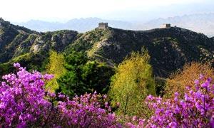 涞源长城和美丽花朵摄影图片