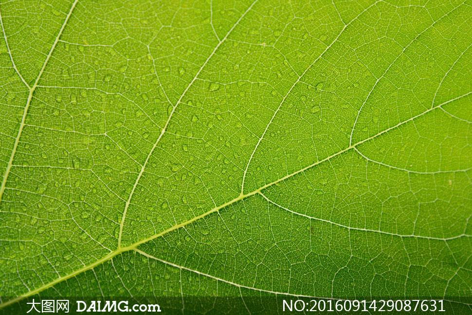 带着小水珠的绿叶特写摄影高清图片