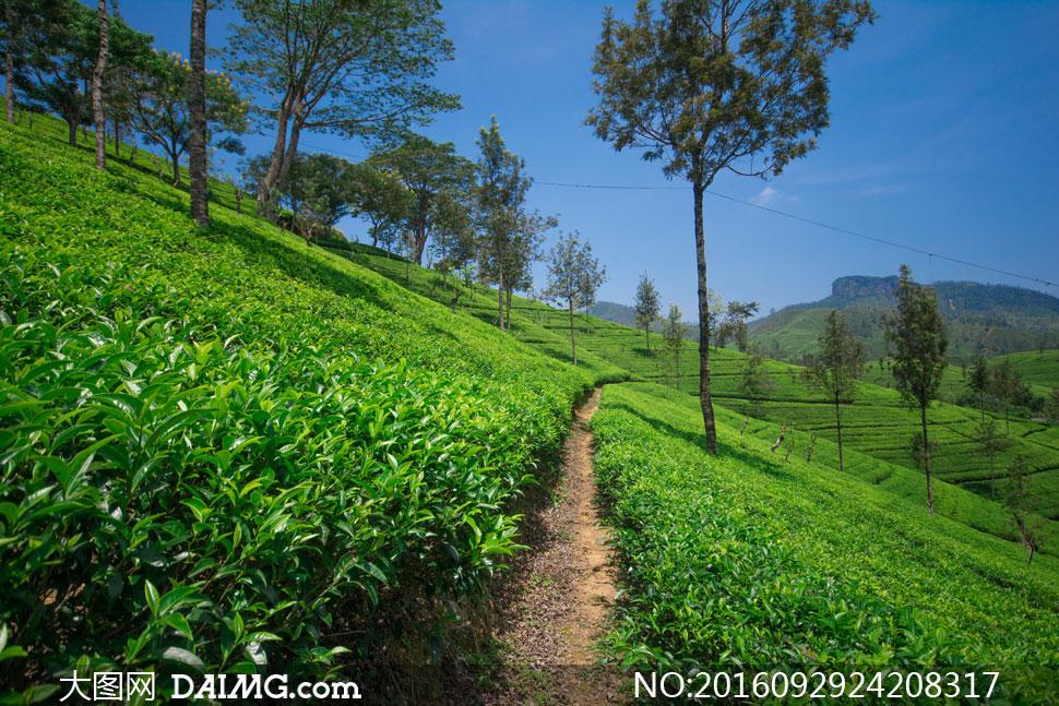 关 键 词: 高清摄影大图图片素材自然风景风光小树树木茶叶茶园茶叶