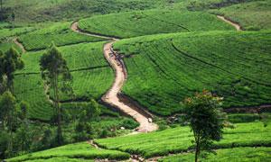 小树与茶叶种植园鸟瞰摄影高清图片