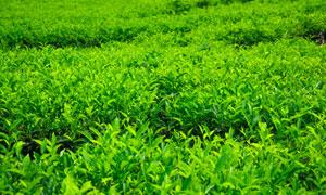 大片的茶叶园自然风光摄影高清图片