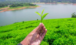 手里的茶叶与湖畔茶园摄影高清图片