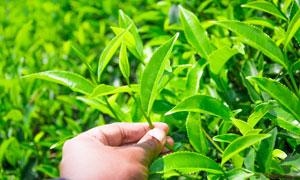 采摘嫩绿茶叶的手特写摄影高清图片