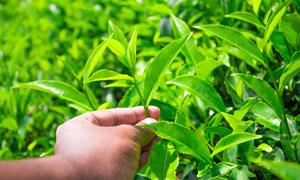 在采摘茶叶的情景特写摄影高清图片