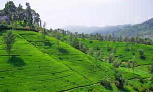 茶园与隐约可见的山峦摄影高清图片