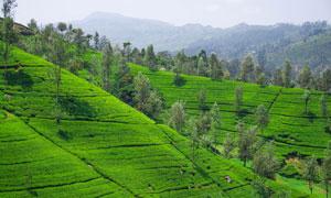 远山与茶叶种植园风光摄影高清图片