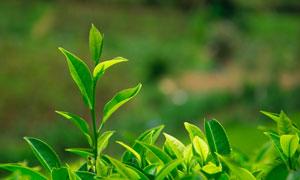 茶园里的嫩绿茶叶微距摄影高清图片
