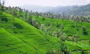 茶叶园与远处山峦风光摄影高清图片