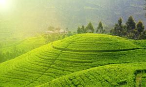 规模化种植的茶园风光摄影高清图片