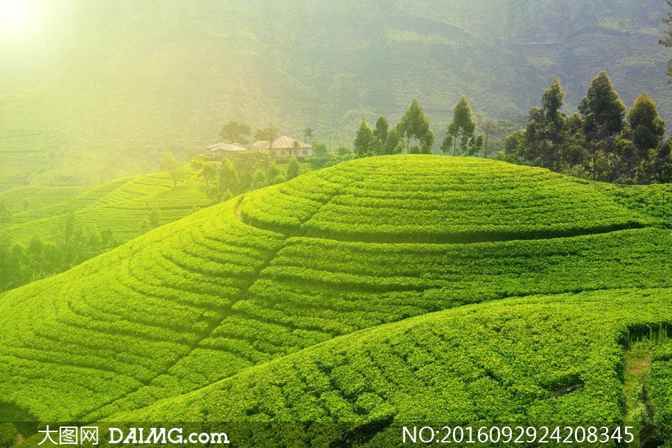 高清图片 自然风景 > 素材信息          丘陵地貌茶园自然风光摄影