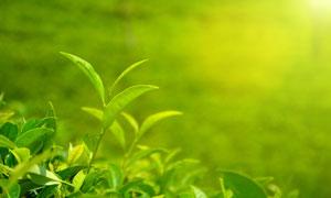 阳光照耀下的茶叶微距摄影高清图片
