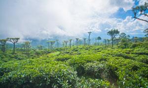 蓝天白云茶树茶园风景摄影高清图片