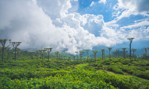蓝天白云与茶叶园风光摄影高清图片