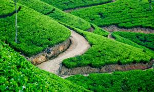 蜿蜒小路与茶叶园风光摄影高清图片