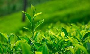 茁壮成长的嫩绿色茶叶摄影高清图片